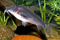 Aquarium Catfish for Sale